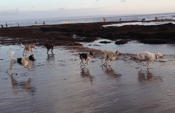 Companion and free-ranging Bali dogs