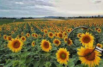 Sunflower inflorescences absorb maximum light energy if they face east