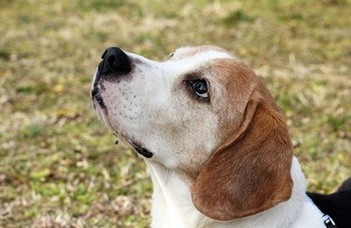 Companion dogs may be a key to solving dementia