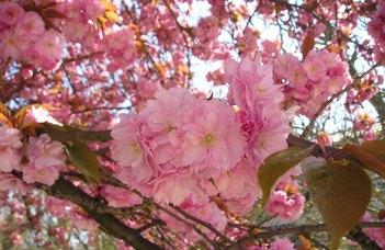 Cseresznyevirágzás és haikuíró verseny a Füvészkertben.