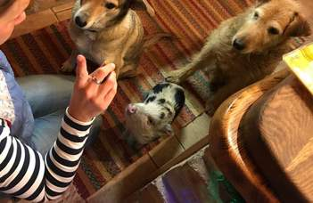 A házimalacok kevésbé szeretik a társaságot, mint a kutyák (Qubit.hu)