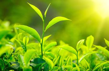 Hogyan reagálnak a növények a vashiányra?