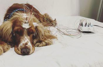 Alvás és orsó: alvásfüggő tanulási mechanizmus kutyáknál