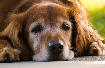 A kognitív hanyatlás jelei idős kutyáknál