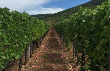 A furmint szőlőfajta gombaközösségeit vizsgálták