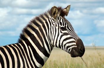 Az ELTE kutatói a zebracsíkok évszázados rejtélyének nyomában