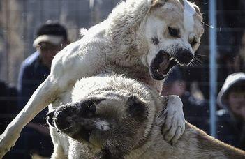 Ha a kutya ölni akar, meg is teszi (24.hu)