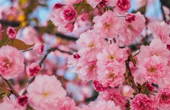Sakura ünnep áprilisban két hétvégén.