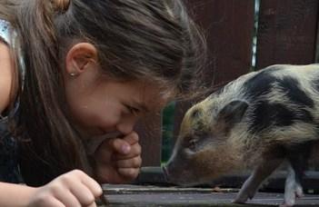 A kutya az embernek, a törpemalac csak a gazdájának legjobb barátja? (Hvg.hu)