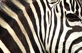 A zebrák segítették a bögölycsapda megújítását