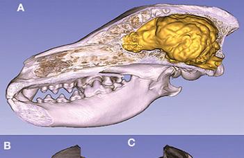 Koponyák alapján alkottak 3D-modelleket a kutyák agyáról (Origo.hu)