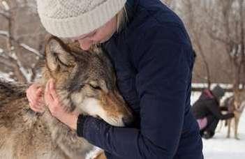 A farkasok is hiányolják nevelőjüket elváláskor